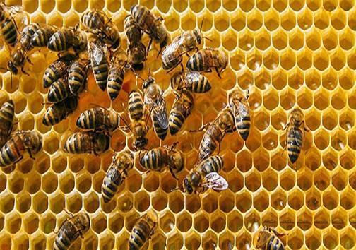 فراوری 200 تن عسل در گچساران